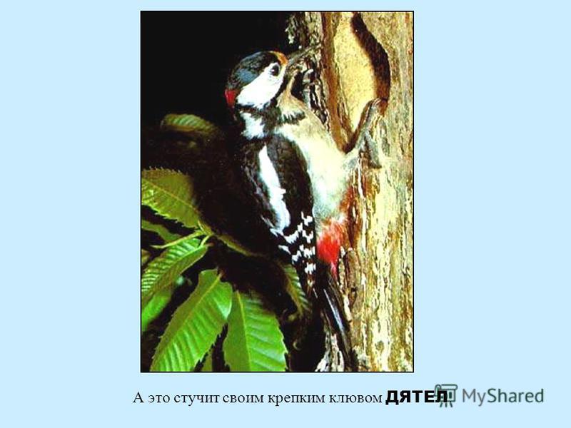 Так кукует лесная птица - КУКУШКА Так кукует лесная птица - кукушка
