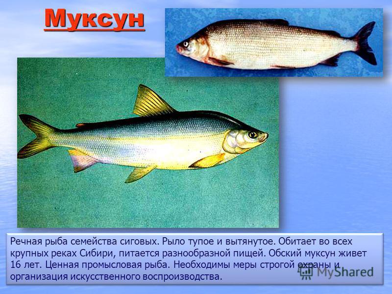 ММММ уууу как сс уууу инн Речная рыба семейства сиговых. Рыло тупое и вытянутое. Обитает во всех крупных реках Сибири, питается разнообразной пищей. Обский муксун живет 16 лет. Ценная промысловая рыба. Необходимы меры строгой охраны и организация иск