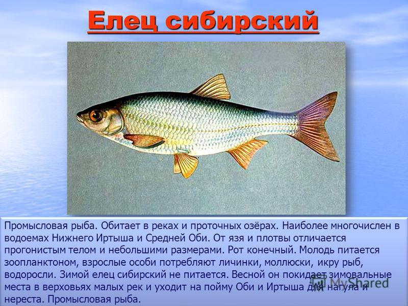 Елец сибирский Елец сибирский Промысловая рыба. Обитает в реках и проточных озёрах. Наиболее многочислен в водоемах Нижнего Иртыша и Средней Оби. От язя и плотвы отличается прогонистым телом и небольшими размерами. Рот конечный. Молодь питается зоопл