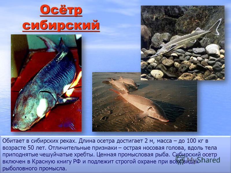 Осётр сибирский Осётр сибирский Обитает в сибирских реках. Длина осетра достигает 2 м, масса – до 100 кг в возрасте 50 лет. Отличительные признаки – острая носовая голова, вдоль тела приподнятые чешуйчатые хребты. Ценная промысловая рыба. Сибирский о