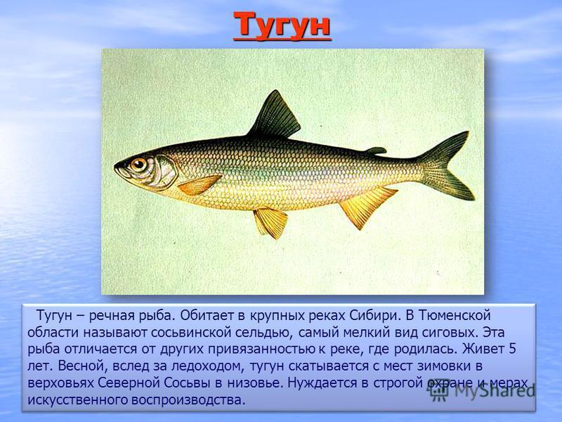 Тугун Тугун – речная рыба. Обитает в крупных реках Сибири. В Тюменской области называют сосьвинской сельдью, самый мелкий вид сиговых. Эта рыба отличается от других привязанностью к реке, где родилась. Живет 5 лет. Весной, вслед за ледоходом, тугун с