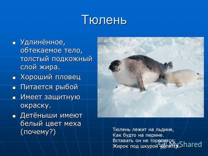 Тюлень Удлинённое, обтекаемое тело, толстый подкожный слой жира. Удлинённое, обтекаемое тело, толстый подкожный слой жира. Хороший пловец Хороший пловец Питается рыбой Питается рыбой Имеет защитную окраску. Имеет защитную окраску. Детёныши имеют белы