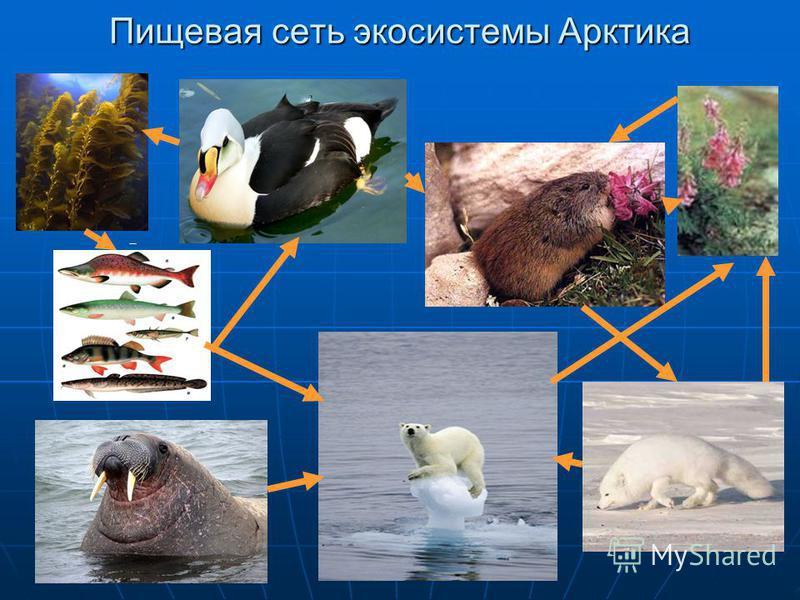 Пищевая сеть экосистемы Арктика