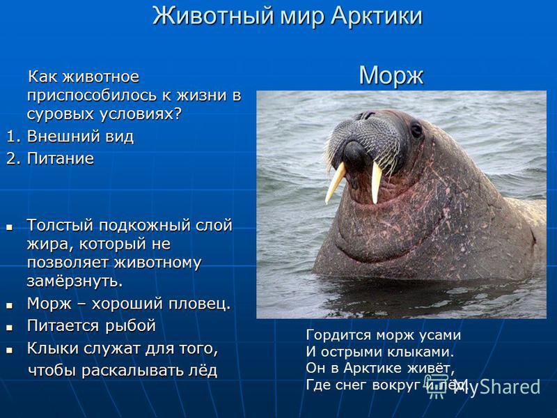 Животный мир Арктики Морж Как животное приспособилось к жизни в суровых условиях? Как животное приспособилось к жизни в суровых условиях? 1. Внешний вид 2. Питание Толстый подкожный слой жира, который не позволяет животному замёрзнуть. Толстый подкож