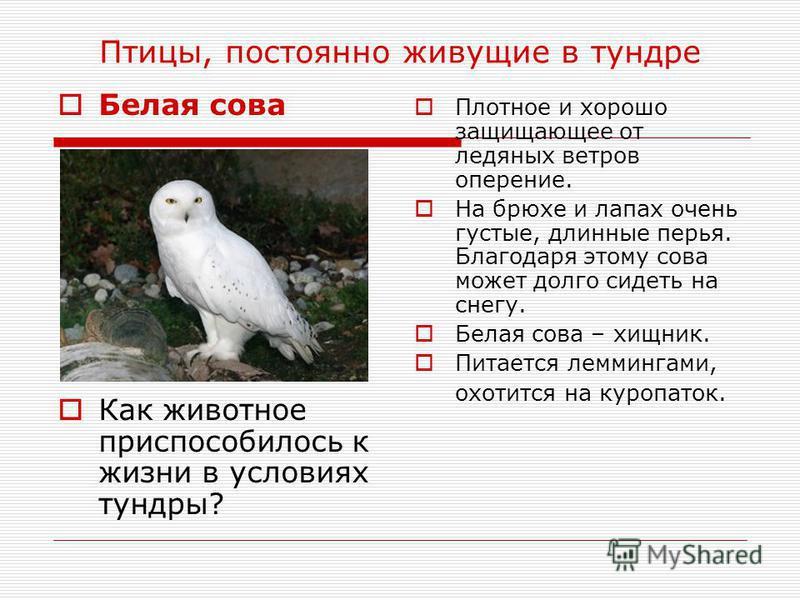 Птицы, постоянно живущие в тундре Белая сова Как животное приспособилось к жизни в условиях тундры? Плотное и хорошо защищающее от ледяных ветров оперение. На брюхе и лапах очень густые, длинные перья. Благодаря этому сова может долго сидеть на снегу