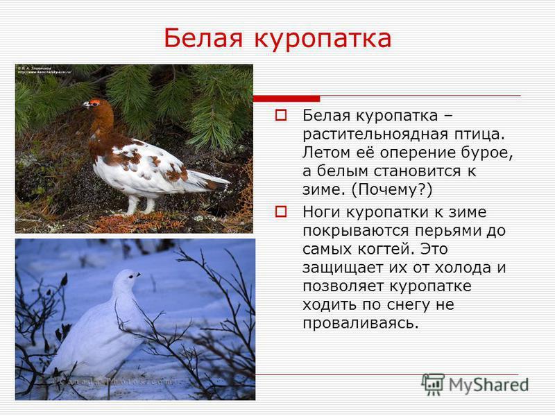 Белая куропатка Белая куропатка – растительноядная птица. Летом её оперение бурое, а белым становится к зиме. (Почему?) Ноги куропатки к зиме покрываются перьями до самых когтей. Это защищает их от холода и позволяет куропатке ходить по снегу не пров