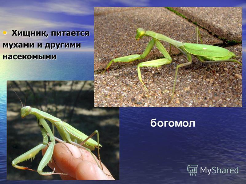 Хищник, питается Хищник, питается мухами и другими насекомыми богомол