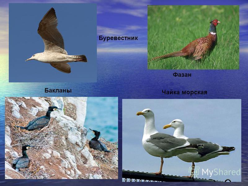 птицы Бакланы Чайка морская Буревестник Фазан