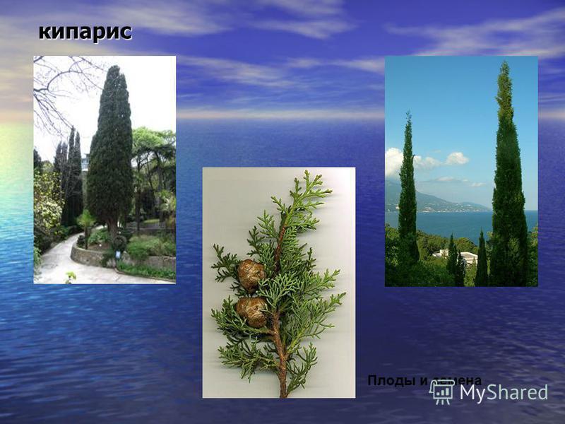 кипарис кипарис Плоды и семена