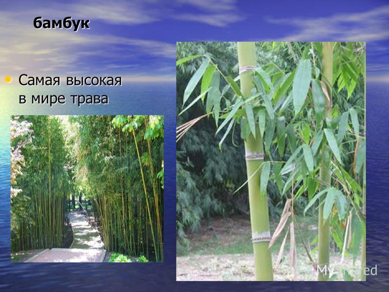бамбук Самая высокая в мире трава Самая высокая в мире трава