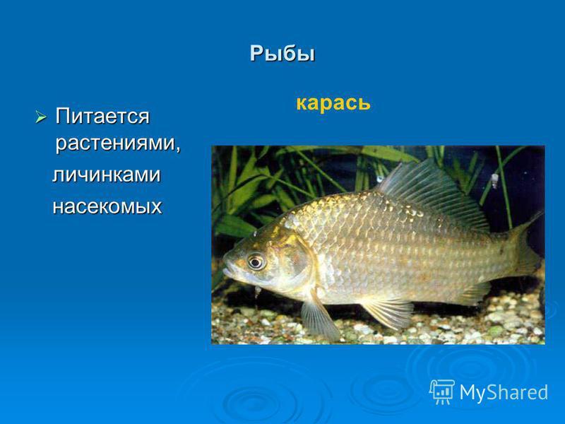 Рыбы Питается растениями, Питается растениями, личинками личинками насекомых насекомых карась