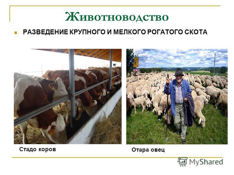 Животноводство РАЗВЕДЕНИЕ КРУПНОГО И МЕЛКОГО РОГАТОГО СКОТА Отара овец Стадо коров