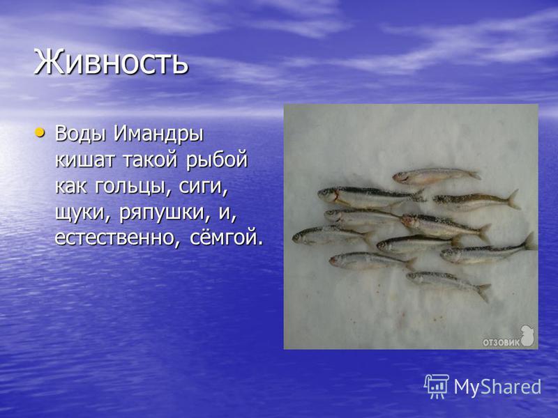 Живность Воды Имандры кишат такой рыбой как гольцы, сиги, щуки, ряпушки, и, естественно, сёмгой. Воды Имандры кишат такой рыбой как гольцы, сиги, щуки, ряпушки, и, естественно, сёмгой.
