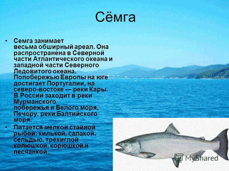 Сёмга Семга занимает весьма обширный ареал. Она распространена в Северной части Атлантического океана и западной части Северного Ледовитого океана. Попобережью Европы на юге достигает Португалии, на северо-востоке реки Кары. В России заходит в реки М