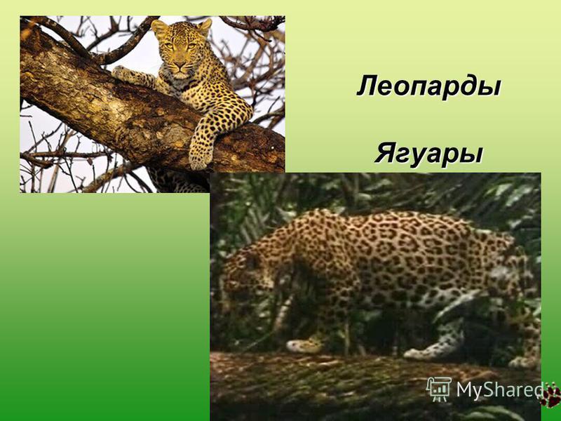 Леопарды Ягуары