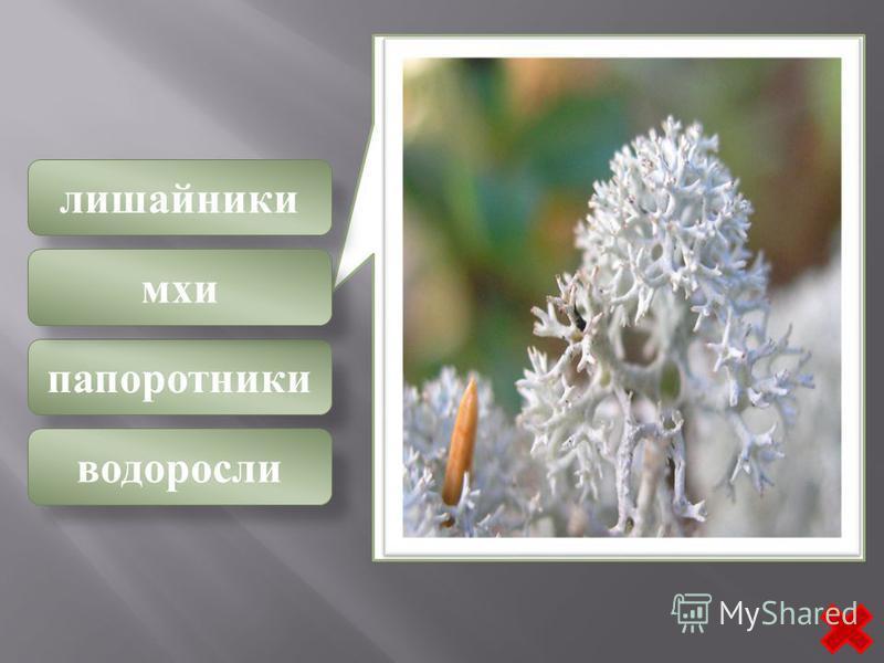 лишайники папоротники водоросли мхи К этому классу относятся растения, всегда расчлененные на стебель и листья. Стебли имеют радиальное строение и одеты листьями, сидящими тесной спиралью и собранными на вершине их в виде почки. Спорогоний состоит из