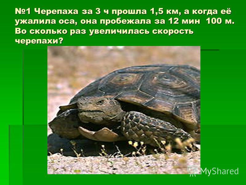 1 Черепаха за 3 ч прошла 1,5 км, а когда её ужалила оса, она пробежала за 12 мин 100 м. Во сколько раз увеличилась скорость черепахи?