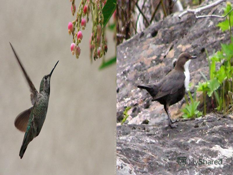 Какая птица самая маленькая? Оляпка Колибри страус