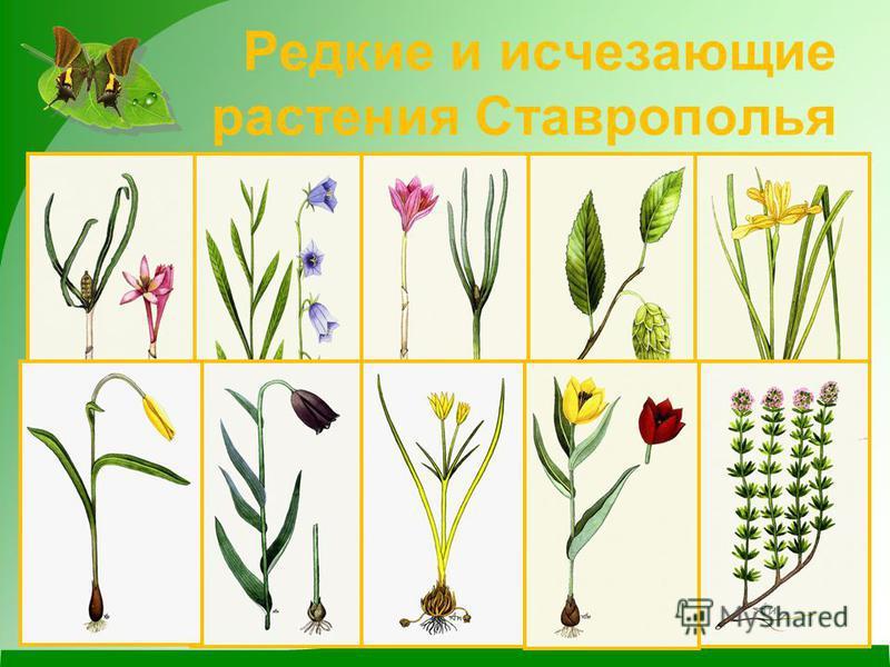 Редкие и исчезающие растения Ставрополья