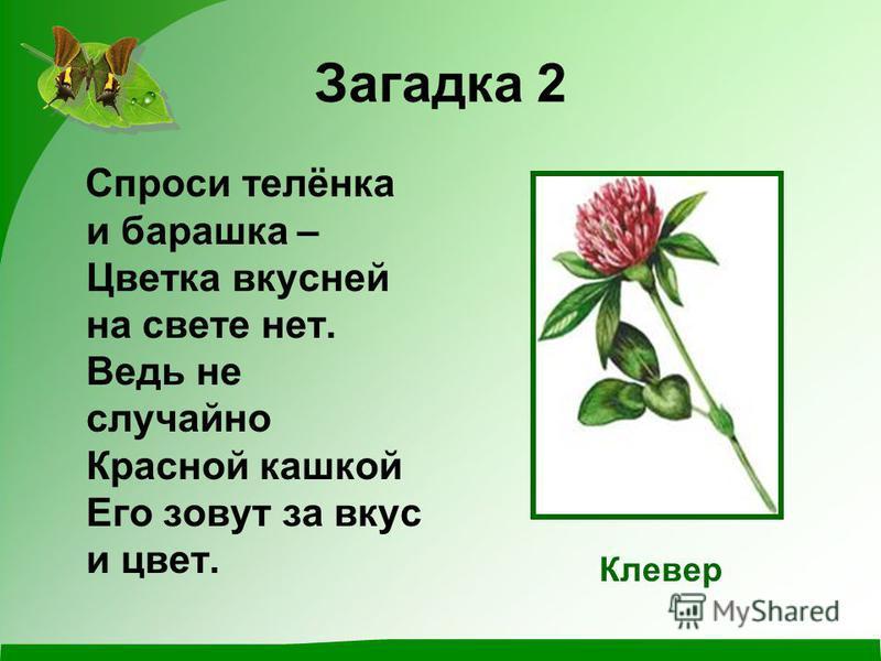 Загадка 2 Спроси телёнка и барашка – Цветка вкусней на свете нет. Ведь не случайно Красной кашкой Его зовут за вкус и цвет. Клевер