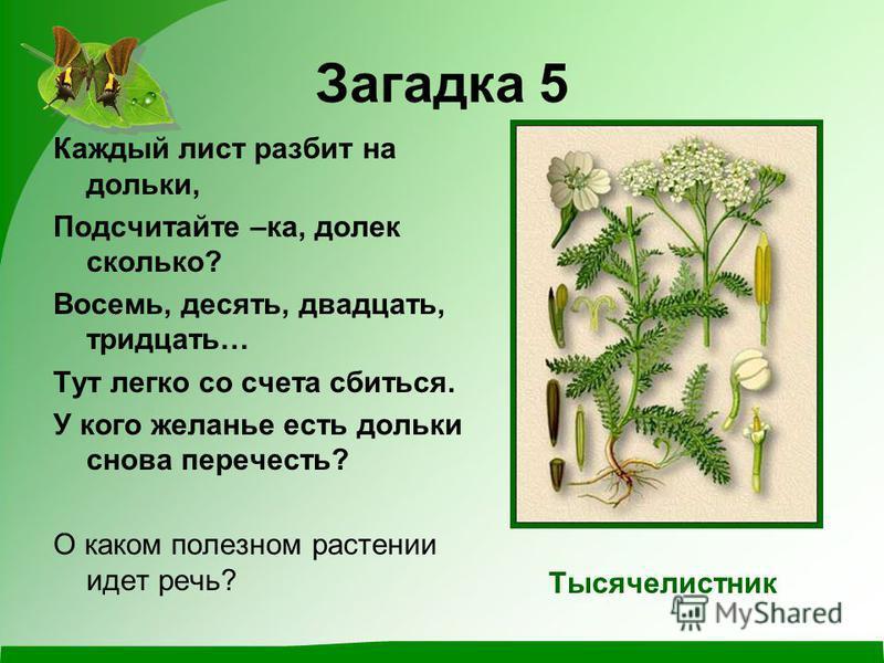 Загадка 5 Каждый лист разбит на дольки, Подсчитайте –ка, долек сколько? Восемь, десять, двадцать, тридцать… Тут легко со счета сбиться. У кого желанье есть дольки снова перечесть? О каком полезном растении идет речь? Тысячелистник