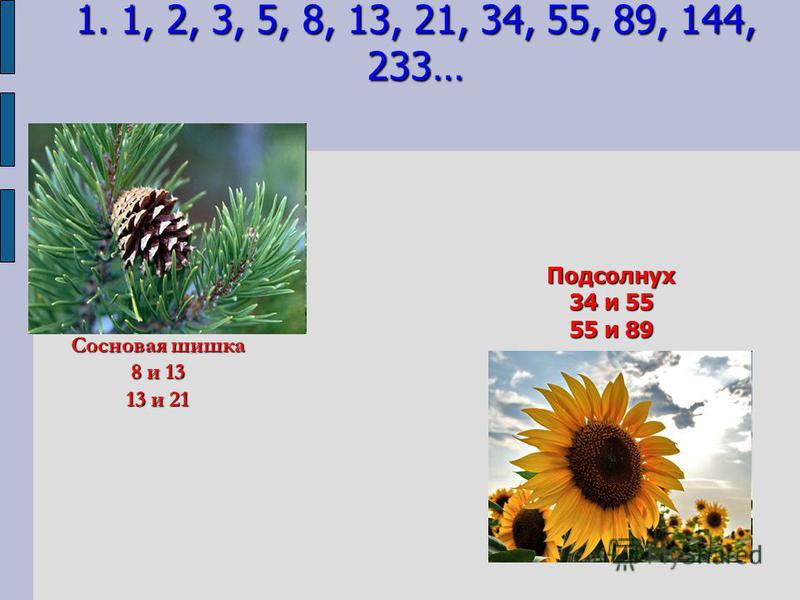 Сосновая шишка 8 и 13 13 и 21 Подсолнух 34 и 55 55 и 89 1. 1, 2, 3, 5, 8, 13, 21, 34, 55, 89, 144, 233…