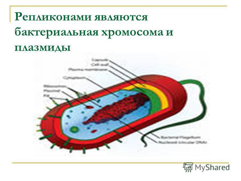Репликонами являются бактериальная хромосома и плазмиды