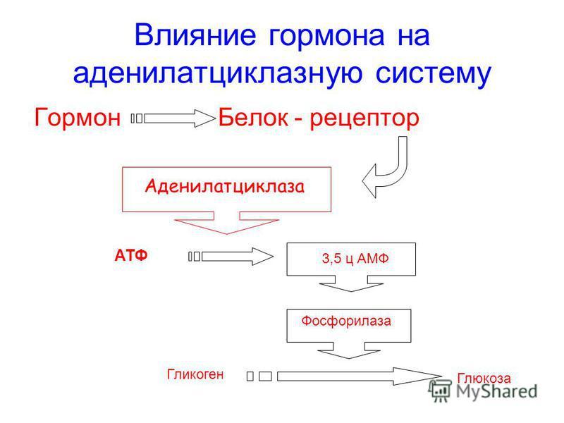 Влияние гормона на аденилатциклазную систему Гормон Белок - рецептор Аденилатциклаза АТФ 3,5 ц АМФ Фосфорилаза Глюкоза Гликоген