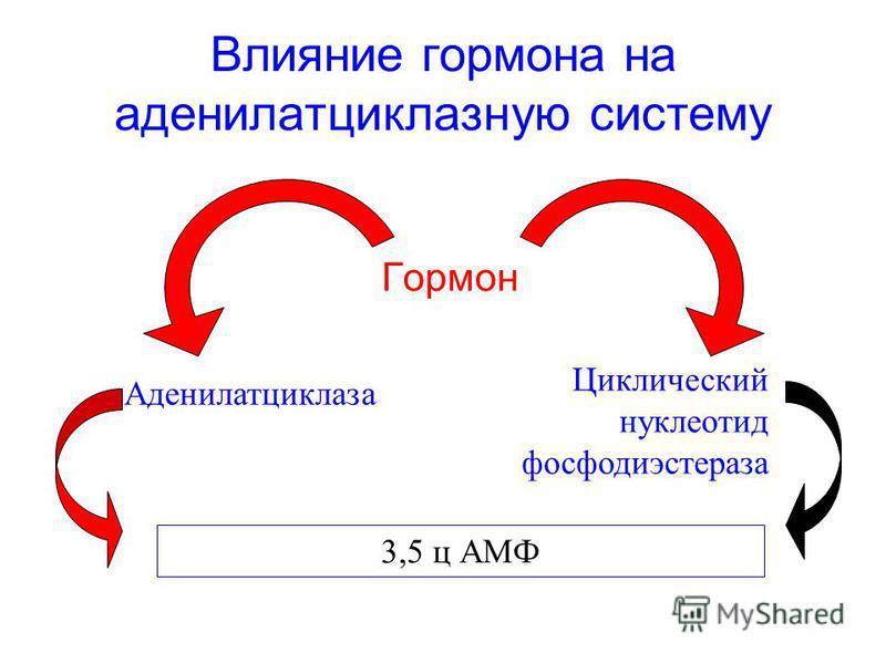 Влияние гормона на аденилатциклазную систему Гормон Аденилатциклаза Циклический нуклеотид фосфодиэстераза 3,5 ц АМФ