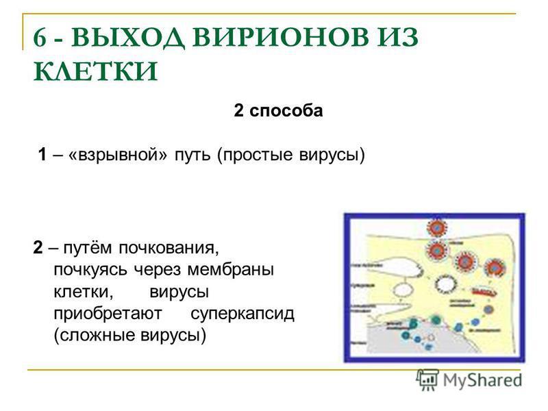 6 - ВЫХОД ВИРИОНОВ ИЗ КЛЕТКИ 2 – путём почкования, почкуясь через мембраны клетки, вирусы приобретают суперкапсид (сложные вирусы) 2 способа 1 – «взрывной» путь (простые вирусы)