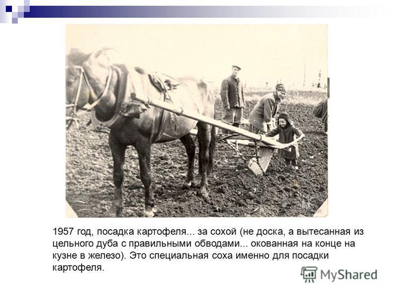 1957 год, посадка картофеля... за сохой (не доска, а вытесанная из цельного дуба с правильными обводами... окованная на конце на кузне в железо). Это специальная соха именно для посадки картофеля.