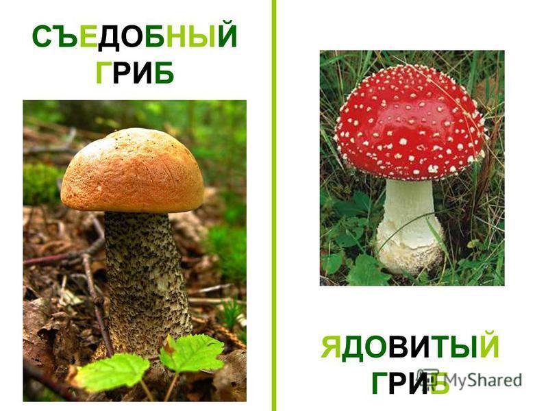 СЪЕДОБНЫЙ ГРИБ ЯДОВИТЫЙ ГРИБ Съедобный гриб. Ядовитый гриб.