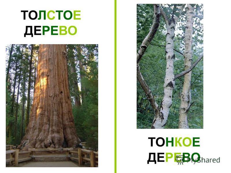 ТОЛСТОЕ ДЕРЕВО ТОНКОЕ ДЕРЕВО Толстое дерево. Тонкое дерево.