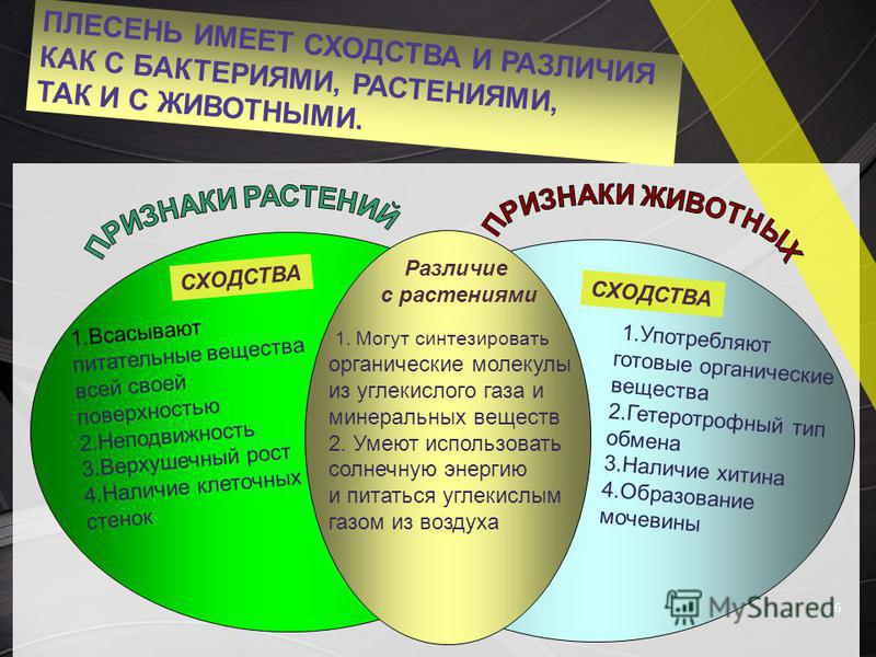 ПЛЕСЕНЬ ИМЕЕТ СХОДСТВА И РАЗЛИЧИЯ КАК С БАКТЕРИЯМИ, РАСТЕНИЯМИ, ТАК И С ЖИВОТНЫМИ. 6 1. Всасывают питательные вещества всей своей поверхностью 2. Неподвижность 3. Верхушечный рост 4. Наличие клеточных стенок СХОДСТВА Различие с растениями 1. Могут си