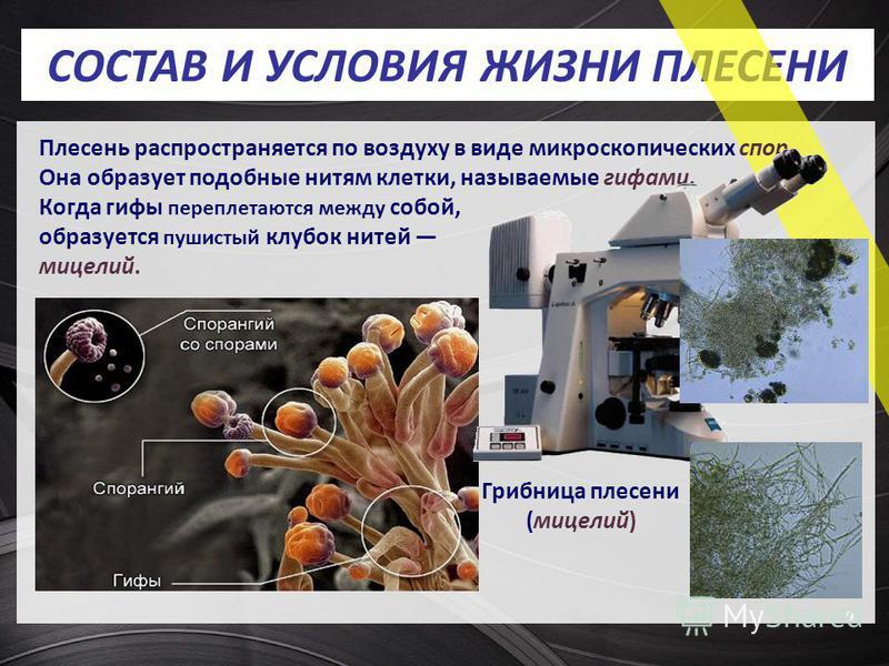 СОСТАВ И УСЛОВИЯ ЖИЗНИ ПЛЕСЕНИ 9 Грибница плесени (мицелий) Плесень распространяется по воздуху в виде микроскопических спор. Она образует подобные нитям клетки, называемые гифами. Когда гифы переплетаются между собой, образуется пушистый клубок ните