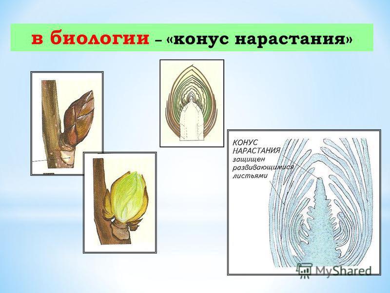 в биологии – «конус нарастания»