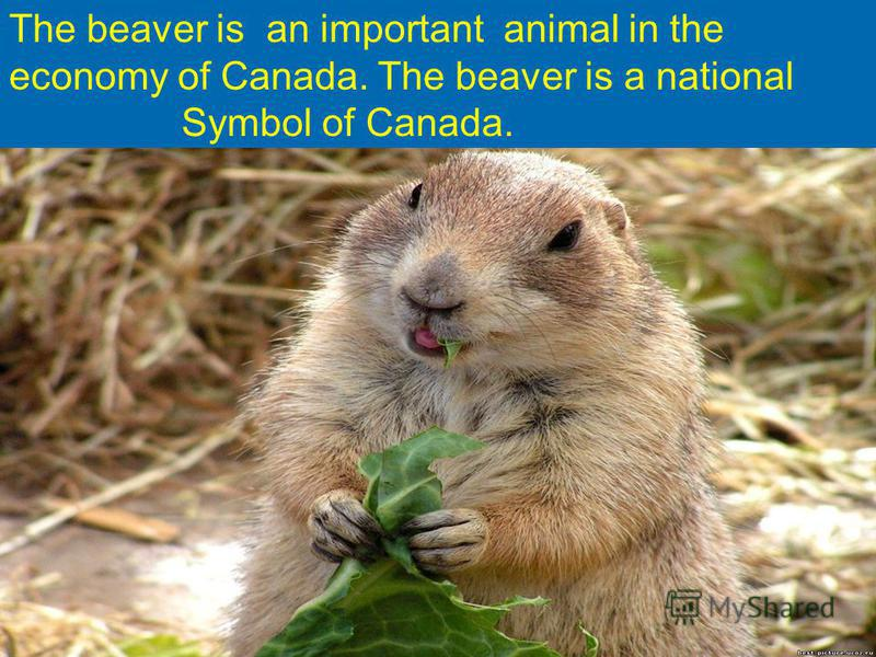 The beaver is an important animal in the economy of Canada. The beaver is a national Symbol of Canada.
