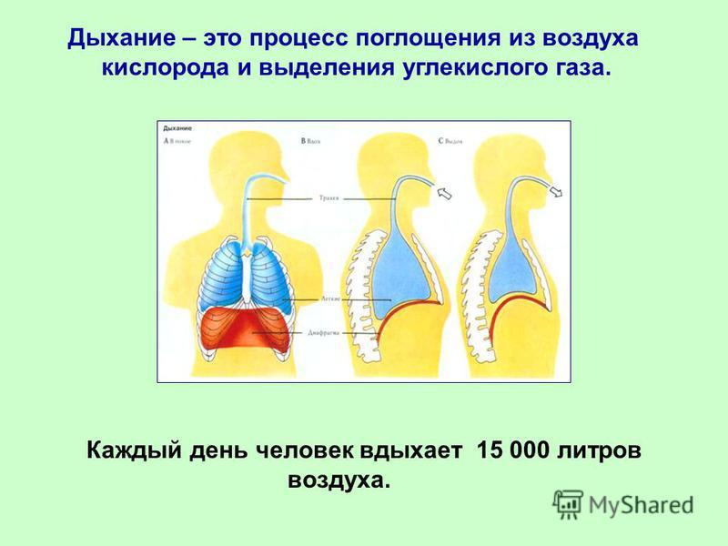 Дыхание – это процесс поглощения из воздуха кислорода и выделения углекислого газа. Каждый день человек вдыхает 15 000 литров воздуха.