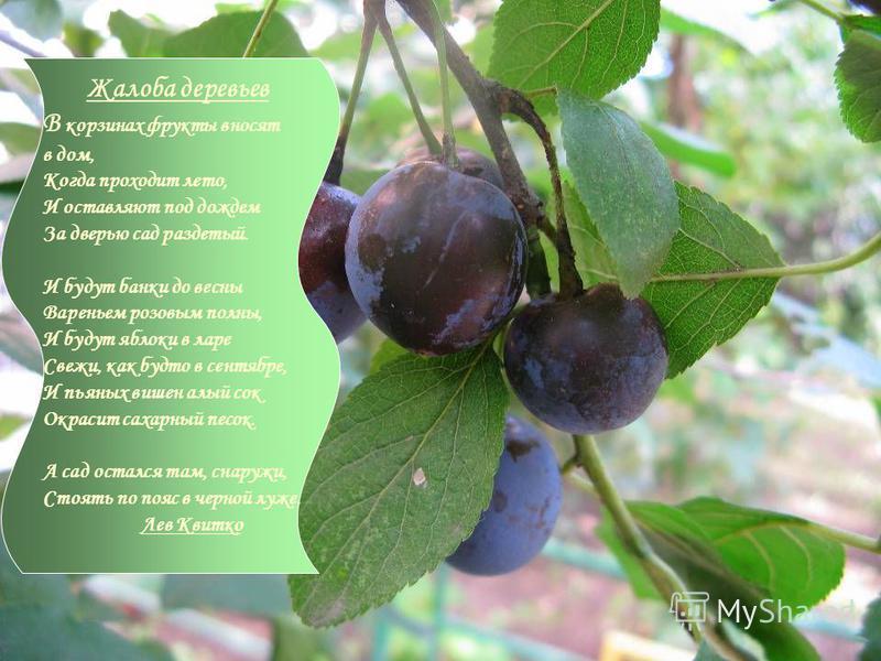 Жалоба деревьев В корзинах фрукты вносят в дом, Когда проходит лето, И оставляют под дождем За дверью сад раздетый. И будут банки до весны Вареньем розовым полны, И будут яблоки в ларе Свежи, как будто в сентябре, И пьяных вишен алый сок Окрасит саха