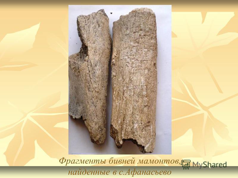 Фрагменты бивней мамонтов, найденные в с.Афанасьево
