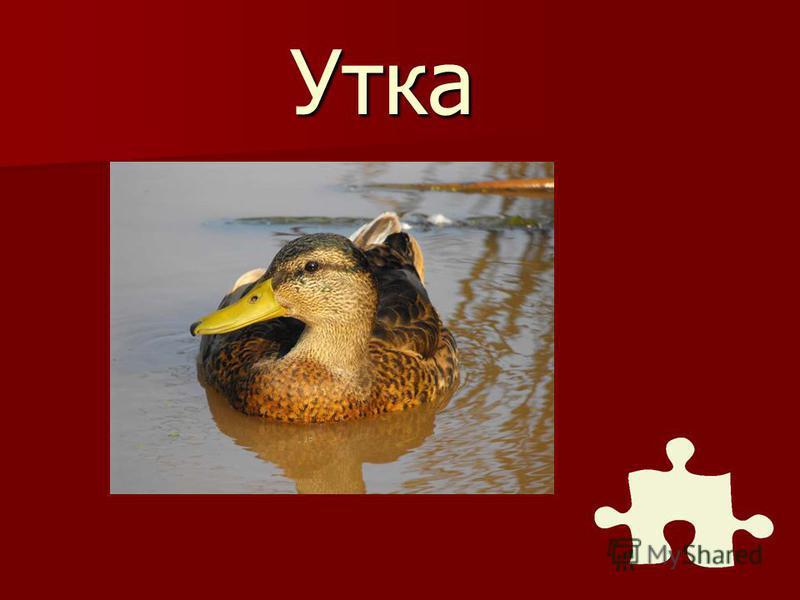 С какой водоплавающей птицей древние коми связывали возникновение мира?