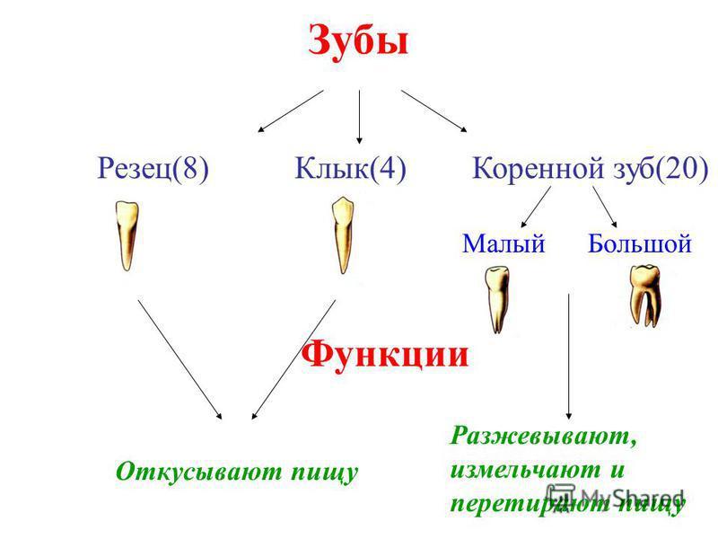 Зубы Резец(8)Клык(4)Коренной зуб(20) Малый Большой Функции Откусывают пищу Разжевывают, измельчают и перетирают пищу