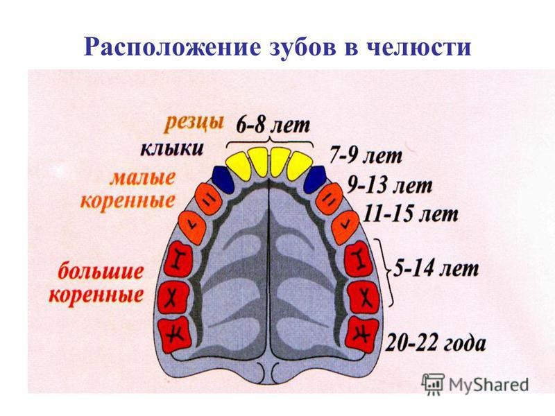 Расположение зубов в челюсти