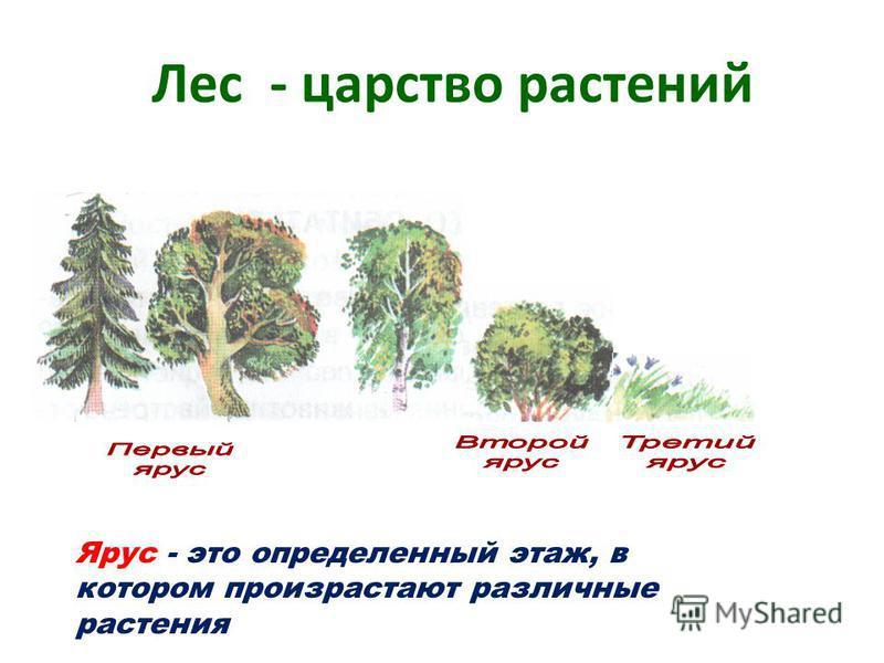 Лес - царство растений Ярус - это определенный этаж, в котором произрастают различные растения