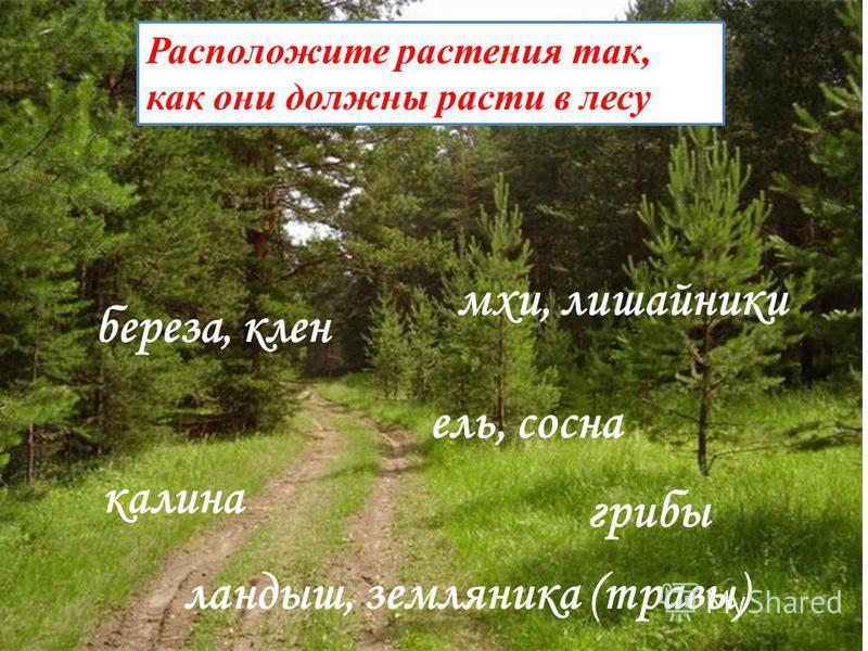 Расположите растения так, как они должны расти в лесу. мхи, лишайники грибы ландыш, земляника (травы) калина береза, клен ель, сосна Расположите растения так, как они должны расти в лесу