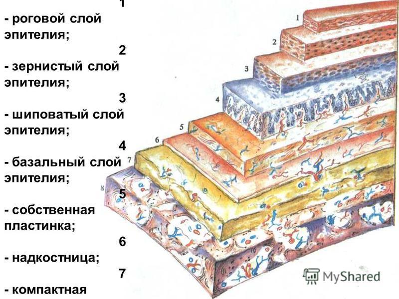 С труктура пародонта (схема). 1 - роговой слой эпителия; 2 - зернистый слой эпителия; 3 - шиповатый слой эпителия; 4 - базальный слой эпителия; 5 - собственная пластинка; 6 - надкостница; 7 - компактная кость; 8 - спонгиозная кость