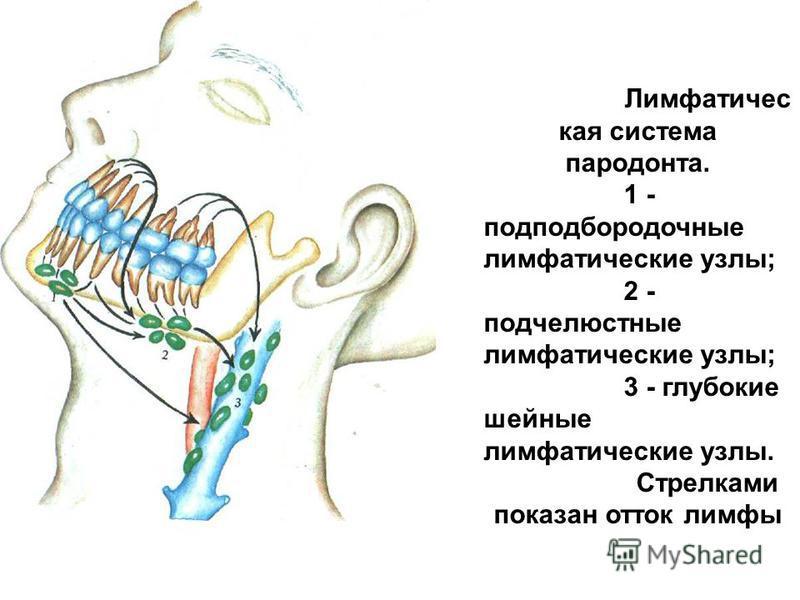 Лимфатичес кая система пародонта. 1 - подподбородочные лимфатические узлы; 2 - подчелюстные лимфатические узлы; 3 - глубокие шейные лимфатические узлы. Стрелками показан отток лимфы