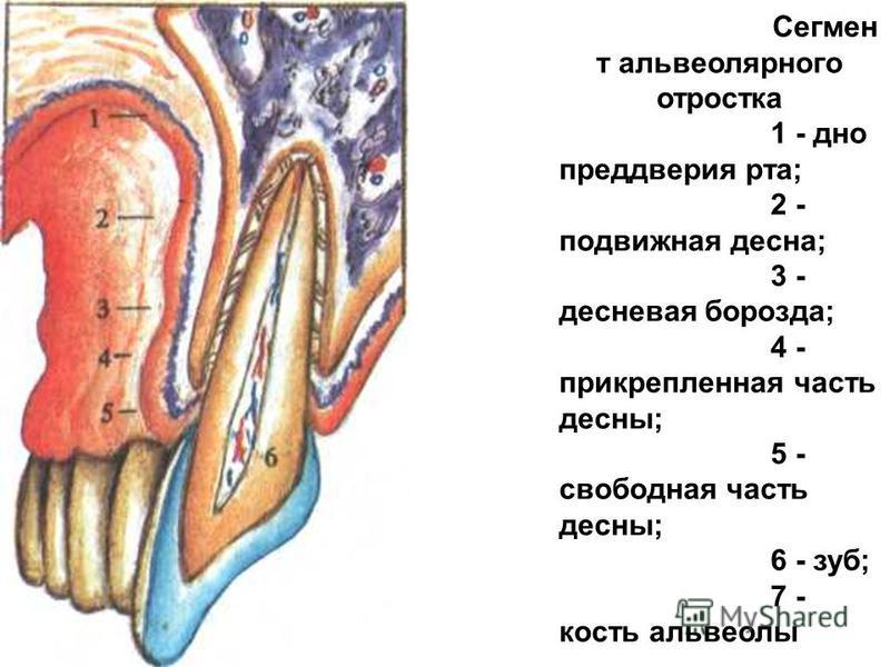 Сегмен т альвеолярного отростка 1 - дно преддверия рта; 2 - подвижная десна; 3 - десневая борозда; 4 - прикрепленная часть десны; 5 - свободная часть десны; 6 - зуб; 7 - кость альвеолы