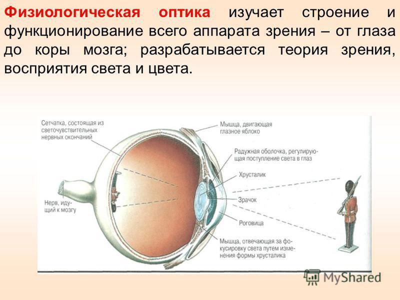 Физиологическая оптика изучает строение и функционирование всего аппарата зрения – от глаза до коры мозга; разрабатывается теория зрения, восприятия света и цвета.
