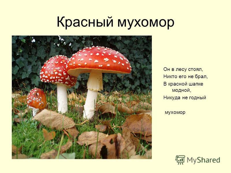 Красный мухомор Он в лесу стоял, Никто его не брал, В красной шапке модной, Никуда не годный мухомор